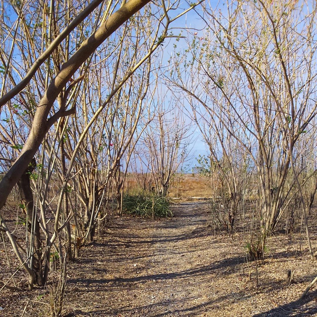Pohon Kering GIli Kondo